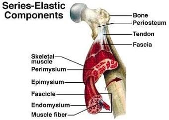 Fascia Muscular tecido conjuntivo fibroso