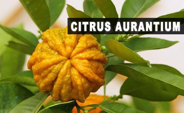 Citrus aurantium - Para que serve, emagrece, efeitos colaterais e dosagem