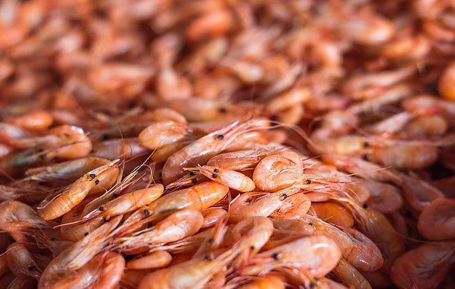 Crustaceo Krill Euphausia superba