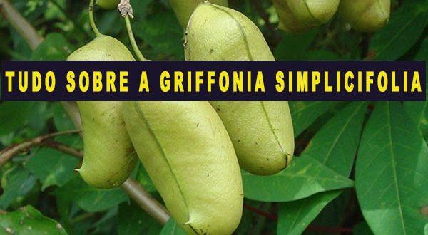 Griffonia Simplicifolia